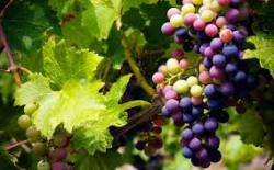vinogradarstvo